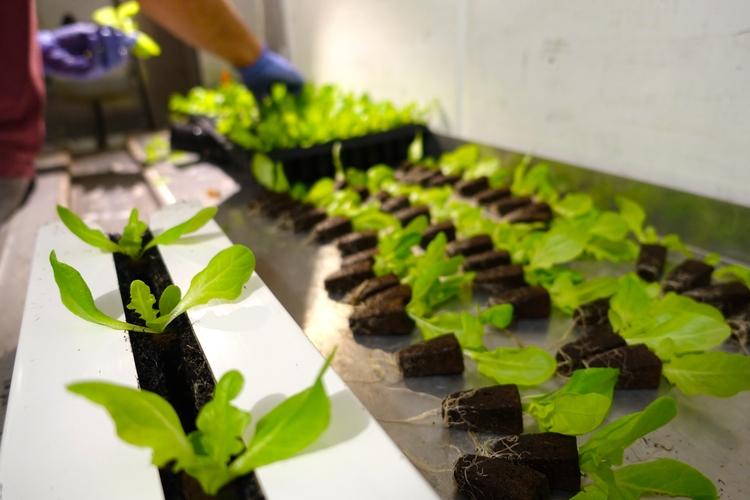 trồng rau sạch trong container lạnh
